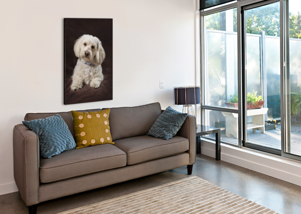 SHIH TZU-POODLE ON A BROWN MUSLIN BACKDROP PACIFICSTOCK  Canvas Print