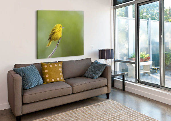 YELLOW WARBLER (SETOPHAGA PETECHIA) PERCHED DURING SPRING TIME; CHATEAUGUAY, QUEBEC, CANADA PACIFICSTOCK  Canvas Print