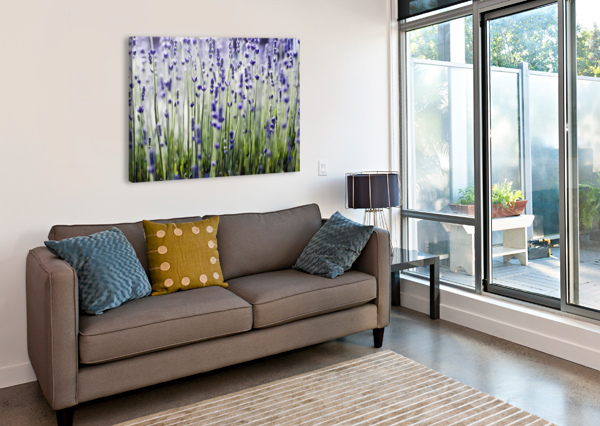 LAVENDER (LAVANDULA ANGUSTIFOLIA), MANY SPRIGS GROWING IN FIELD. PACIFICSTOCK  Canvas Print