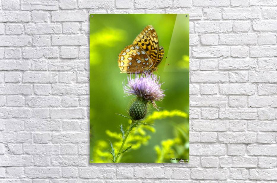 Thistle Nectar  Acrylic Print