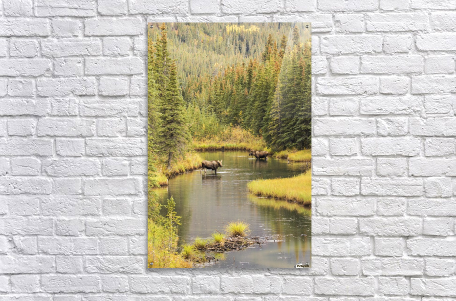 Bull and cow moose (alces alces) feeding in a shallow pond south of Cantwell, photo taken from Parks Highway common moose habitat; Alaska, United States of America  Acrylic Print
