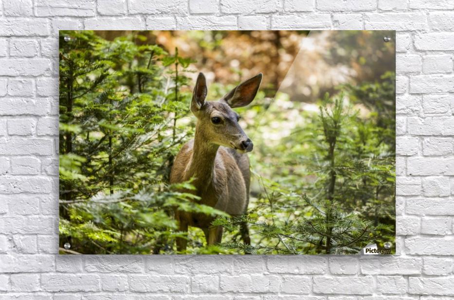 Mule deer (Odocoileus hemionus), Sequoia National Park; California, United States of America  Acrylic Print
