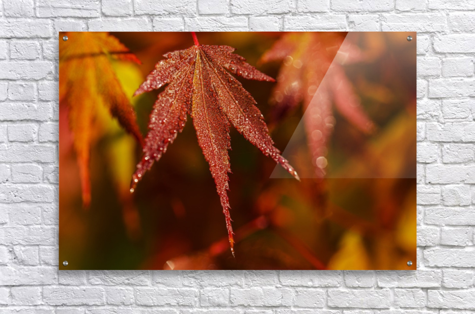 Japanese Maple (Acer palmatum) turning red in the autumn; Astoria, Oregon, United States of America  Acrylic Print
