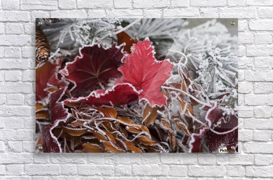Hoarfrost covers holiday decorations on a wreath, Christmas season; Minnesota, United States of America  Acrylic Print