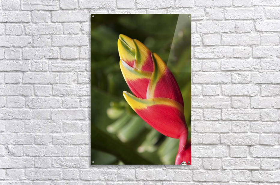 Close-up of lobster-claw heliconia flower; Maui, Hawaii, United States of America  Acrylic Print