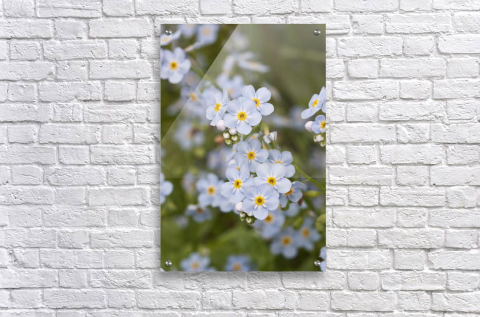 Close Up Of Forget Me Not, Alaska's State Flower, Girdwood, Southcentral Alaska, Summer  Acrylic Print