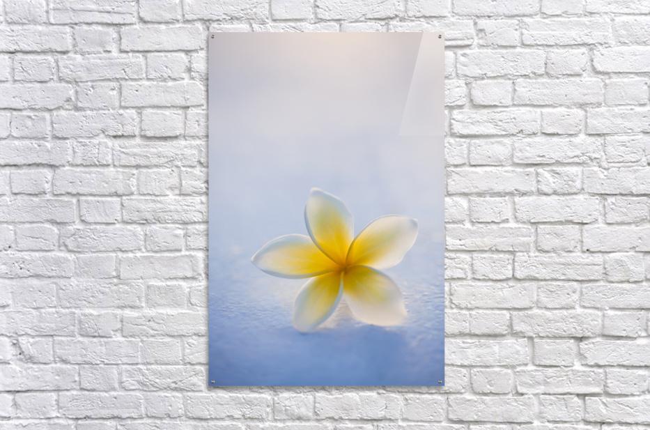 Close-up of a single beautiful yellow Plumeria flower (Apocynaceae) in soft focus; Honolulu, Oahu, Hawaii, United States of America  Acrylic Print