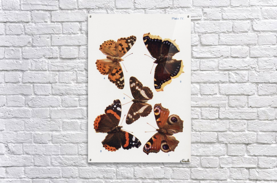 Different types of butterflies. Illustration by W.S.Furneaux. From the book Butterflies, Moths and Other Insects and Creatures of the Countryside. Published 1927.  Acrylic Print
