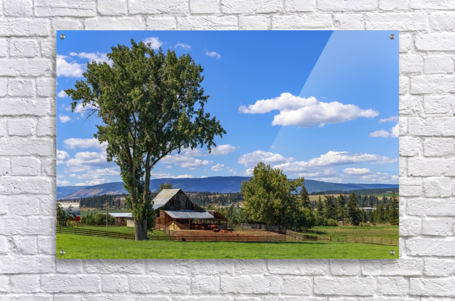 Beef cows rest in the shade of the barn roof under a blue sky with fluffy white clouds in the summer in the North Okanogan; British Columbia, Canada  Acrylic Print