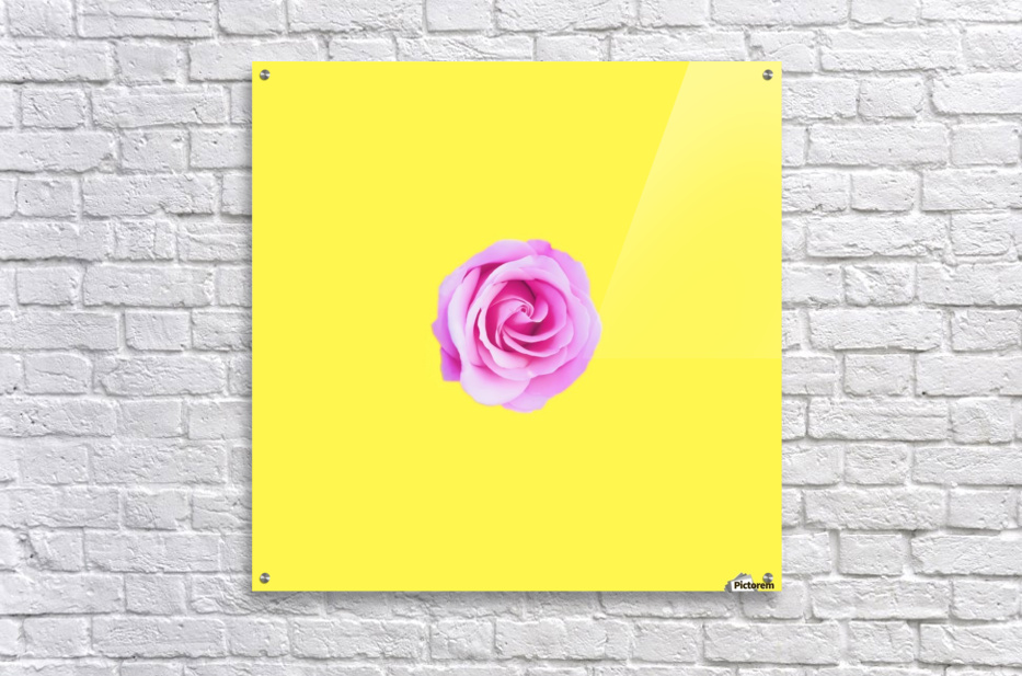 closeup pink rose with yellow background  Acrylic Print