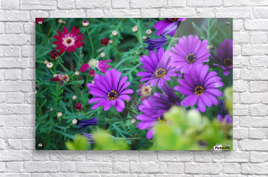 Purple Flowers in Dana Point CA  Acrylic Print