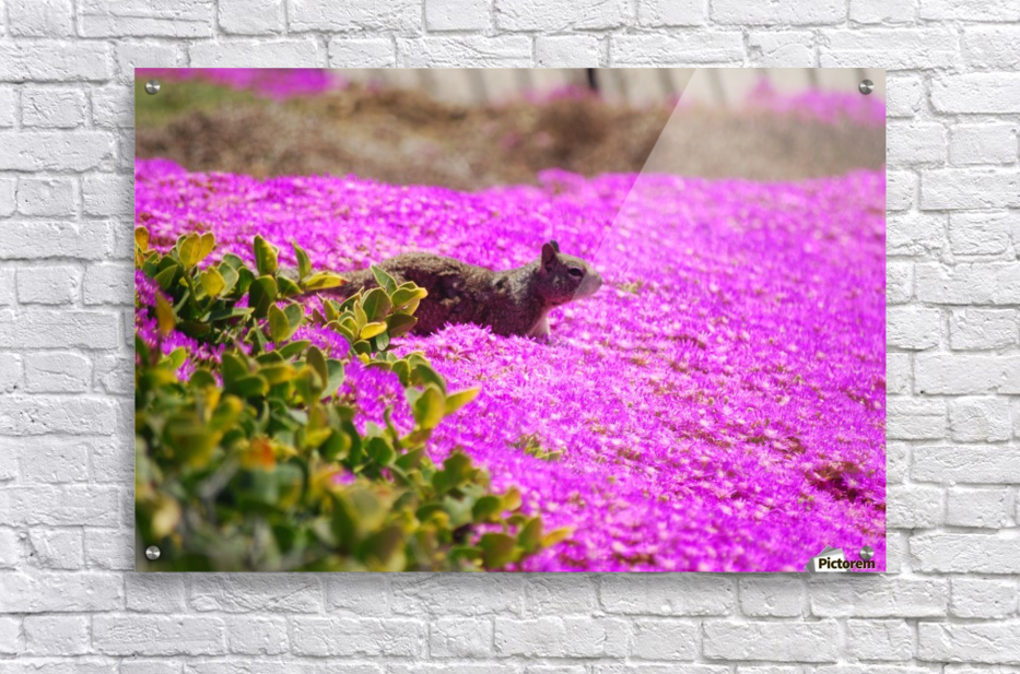 Pink Wild Flowers on a Hill With a Squirrel  Acrylic Print