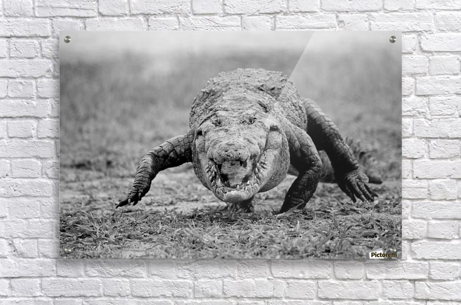 Crocodile Ghana  Acrylic Print