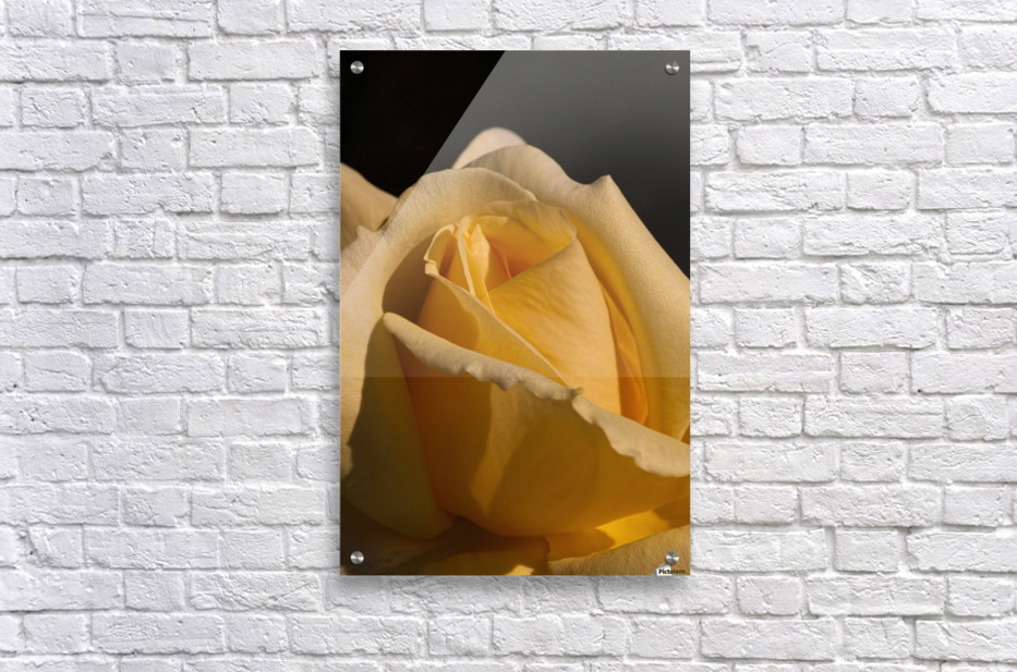 Yellow Rose Close up Single Black Background A010601_1406644  Acrylic Print