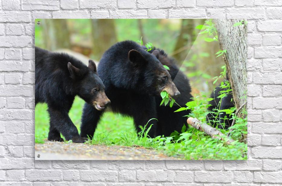 3540-Bear walk  Acrylic Print