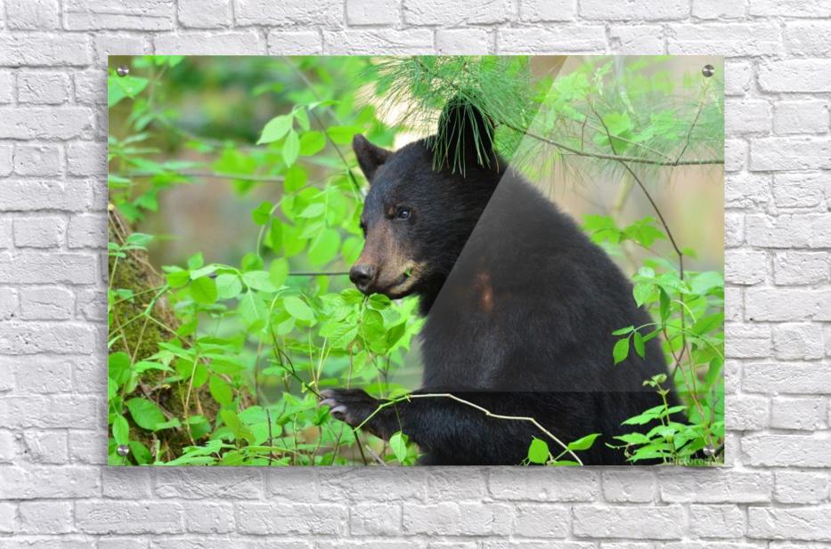 3646-Bear Lunch  Acrylic Print