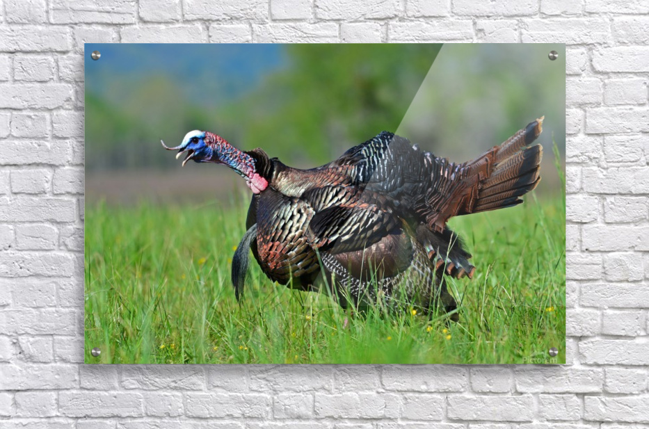 7_Gobbling Turkey  Acrylic Print
