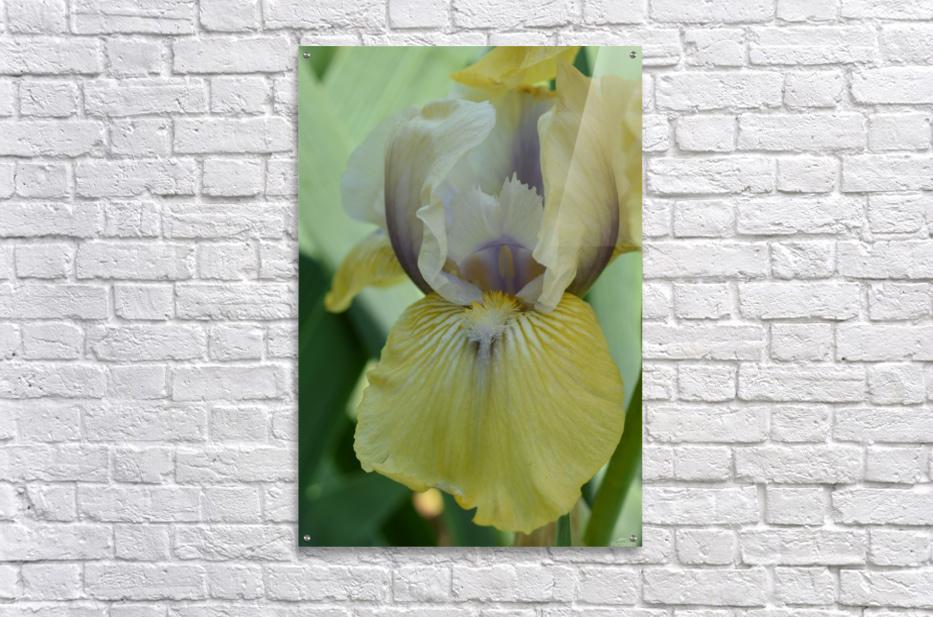 Yellow Iris Photograph  Acrylic Print