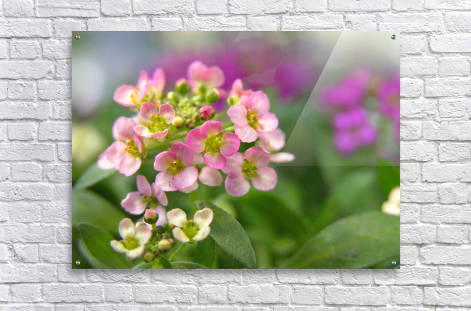 Small Pink Flowers Photography  Acrylic Print