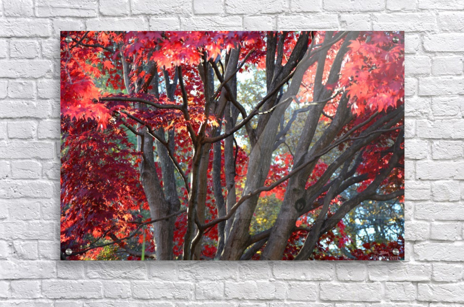 Beautiful Red Fall Foliage  Acrylic Print