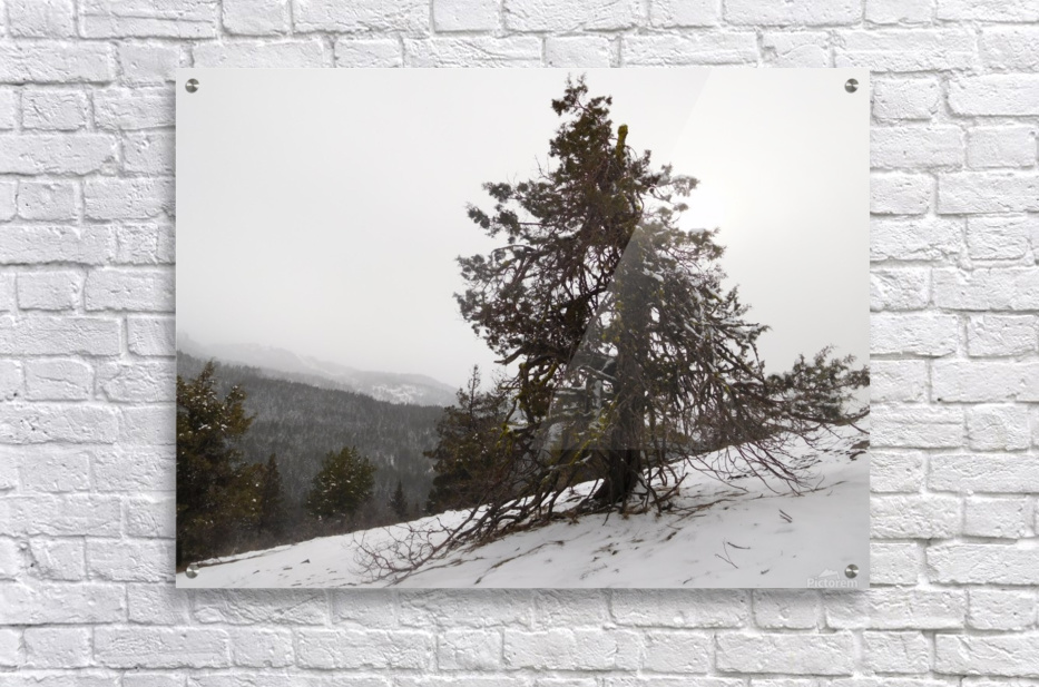 Snowy Mountain Juniper  Acrylic Print