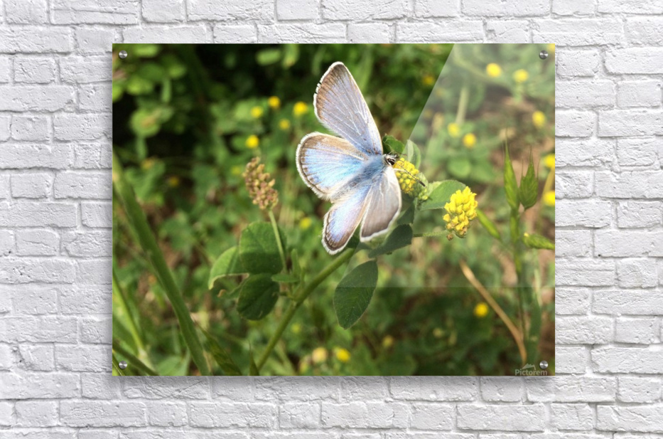 Blue Butterfly on Clover  Acrylic Print