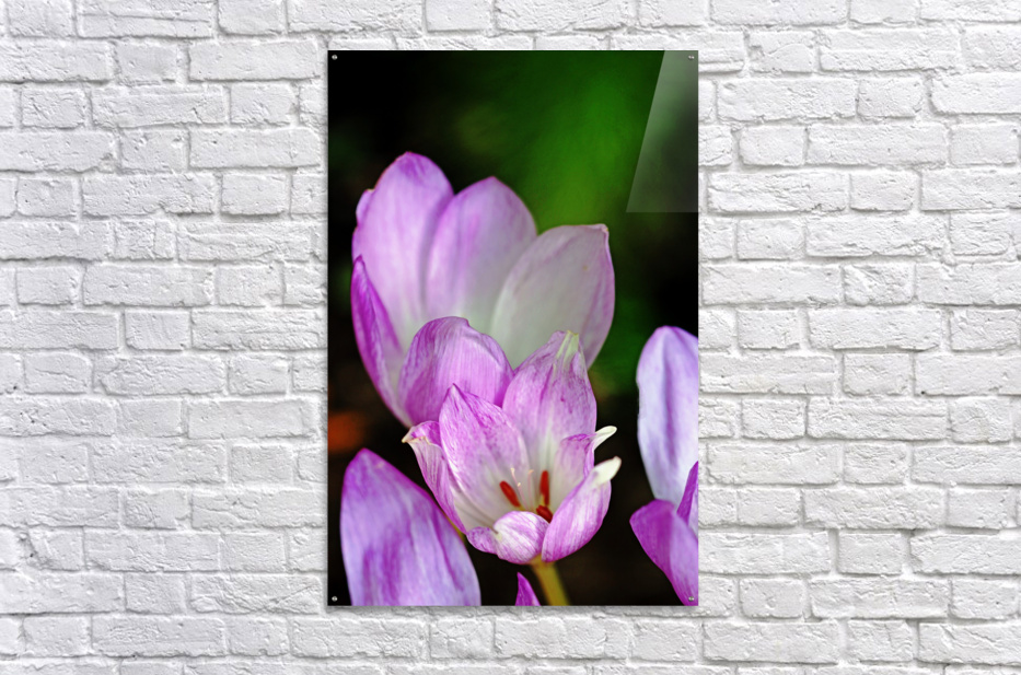 Fall Crocus  Acrylic Print