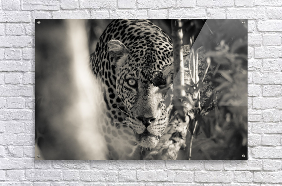 Eyes of the Leopard  Acrylic Print
