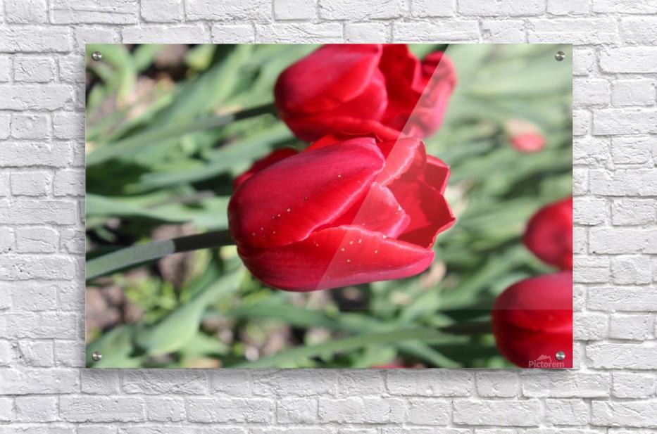 Tulips Red  Acrylic Print