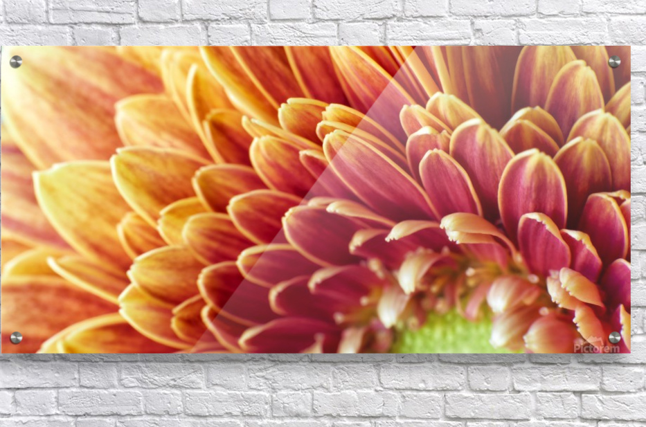Golden Chrysanthemum  Acrylic Print