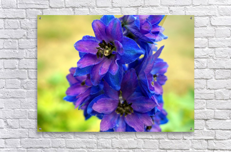 Purple And Blue  Acrylic Print