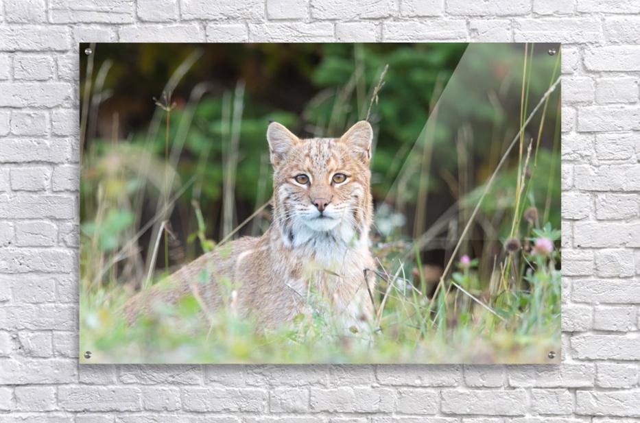 Wild Bobcat  Acrylic Print