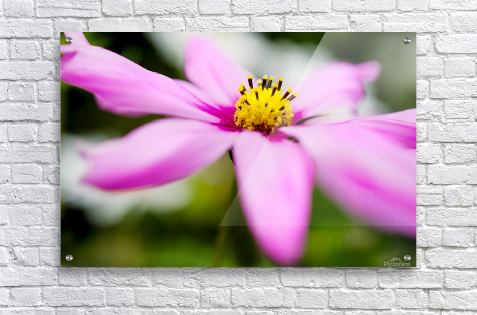 Pink and Flowing  Acrylic Print