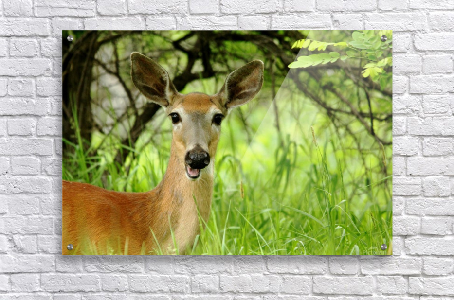 White   Tailed Deer Close Up  Acrylic Print