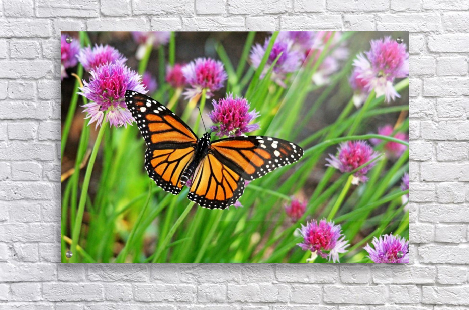 Monarch And Chives  Acrylic Print