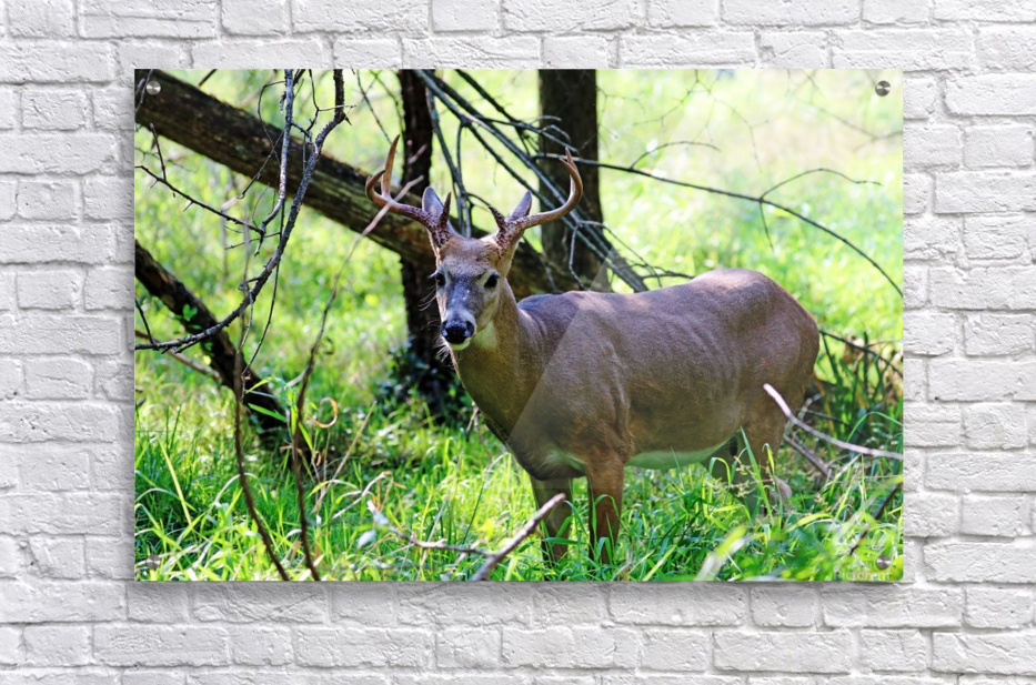 A Buck In The Grass  Acrylic Print