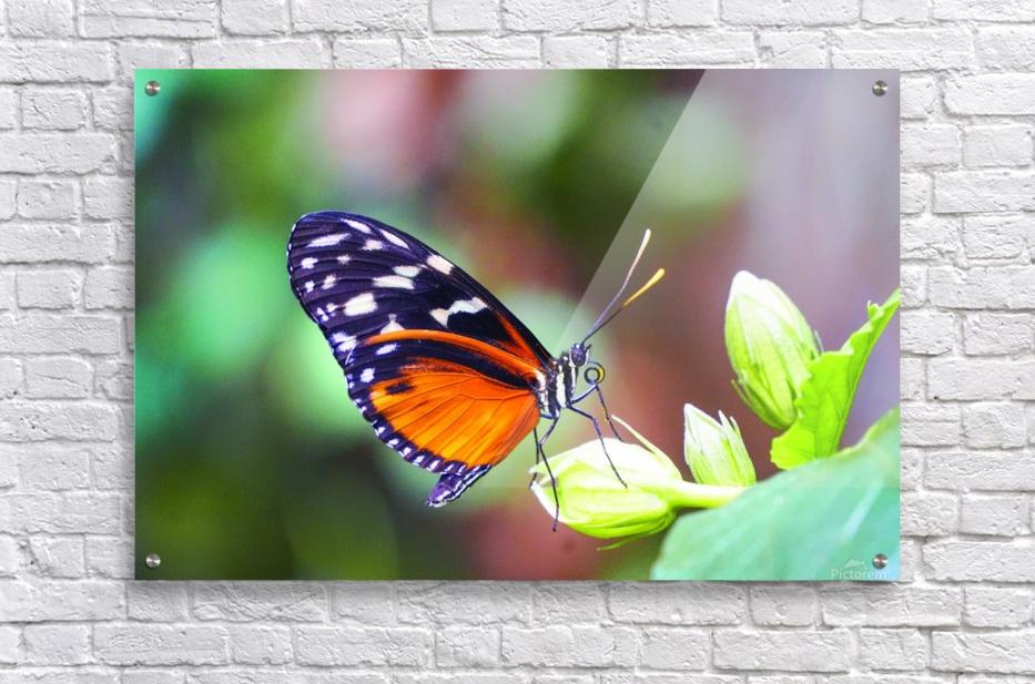 Monarch on a Bud  Acrylic Print