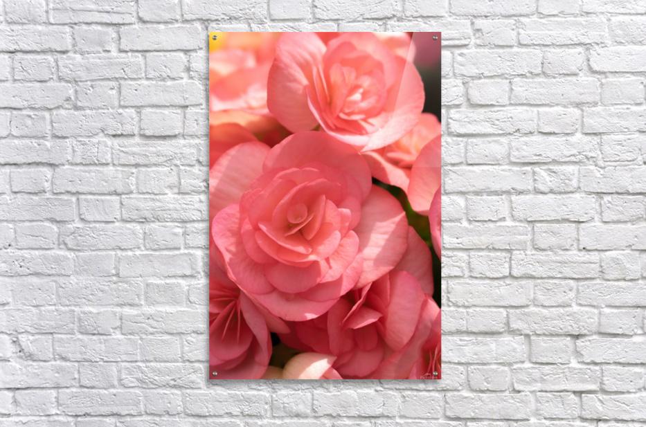 Pink pastel flower  Acrylic Print