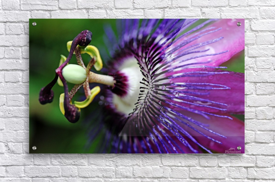 Passion Flower In Purple  Acrylic Print