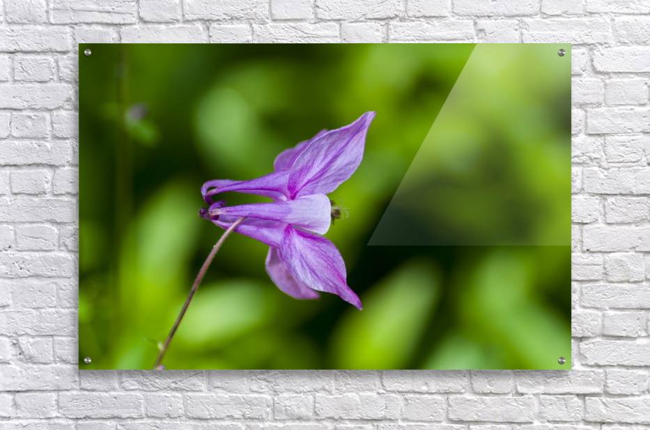 Purple Columbine 2  Acrylic Print