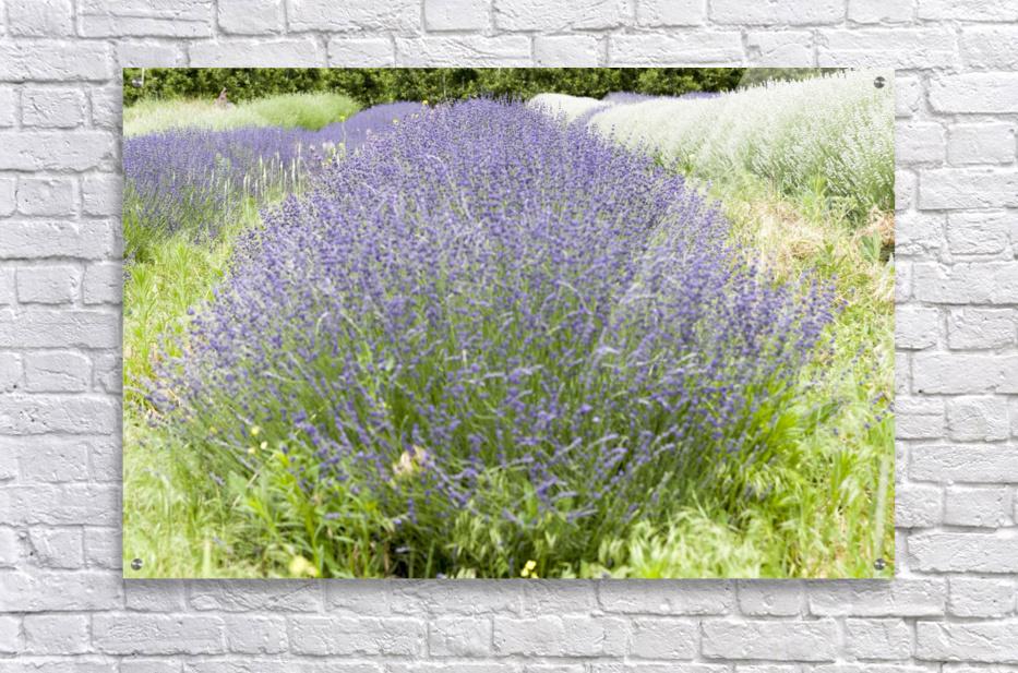 Lavender plants 1  Acrylic Print