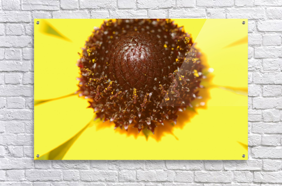 Brown eyed Susan Macro  Acrylic Print
