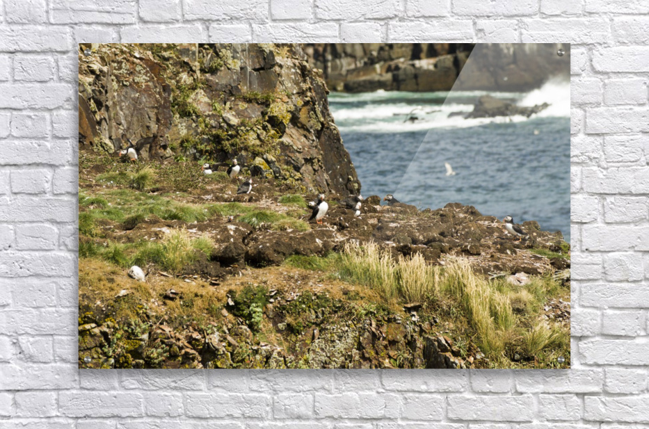 Puffins being puffins 9  Acrylic Print