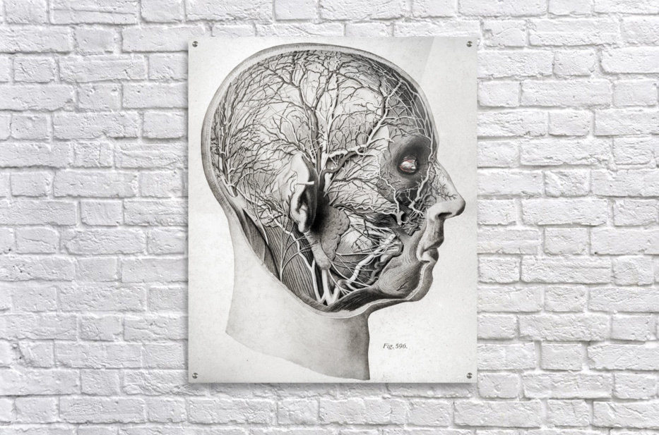 Nerves and Blood Vessels of the Head  Acrylic Print