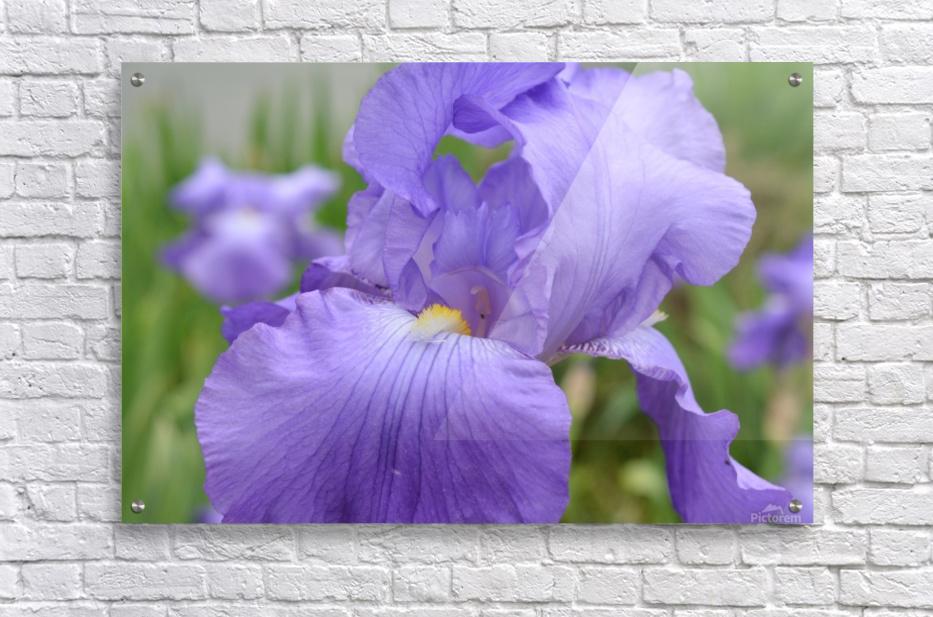 Purple Iris Photograph  Acrylic Print