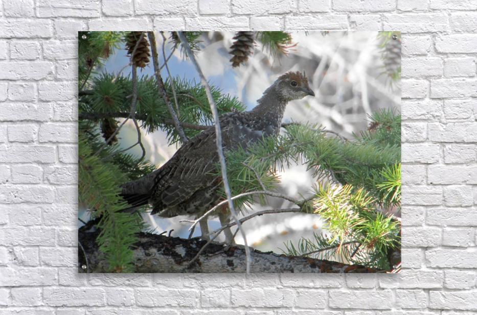 ruffed  Acrylic Print