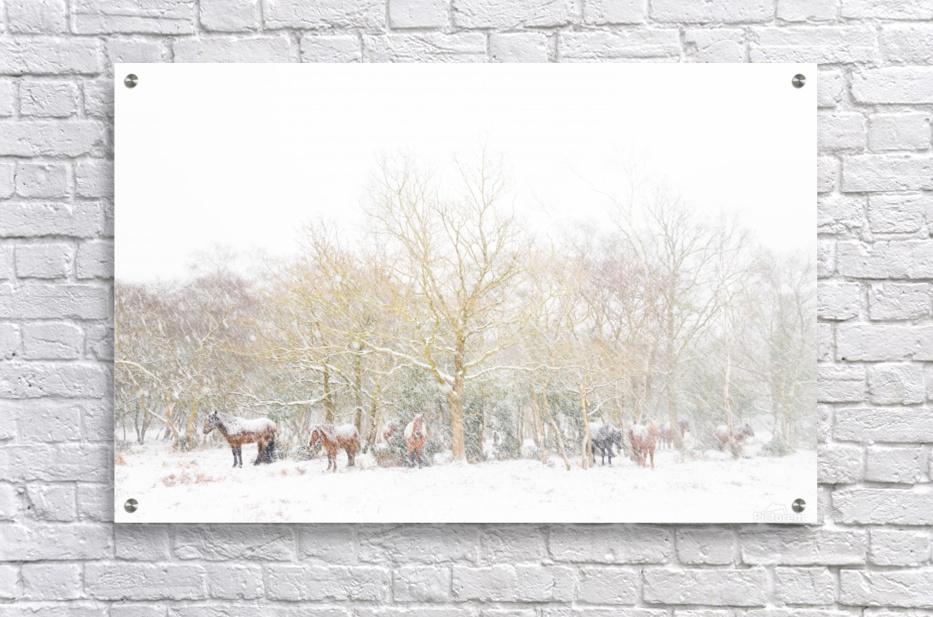 SNOW HORSES 3.  Acrylic Print