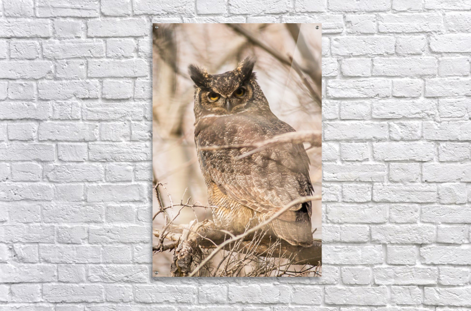 Great horned  Acrylic Print