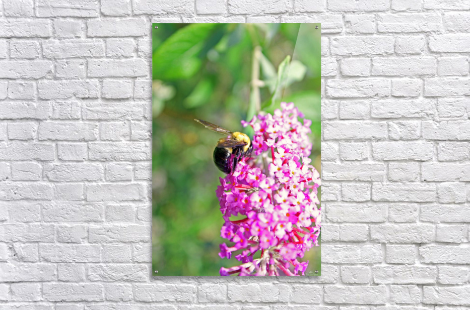 Bumblebee on a Flower  Acrylic Print