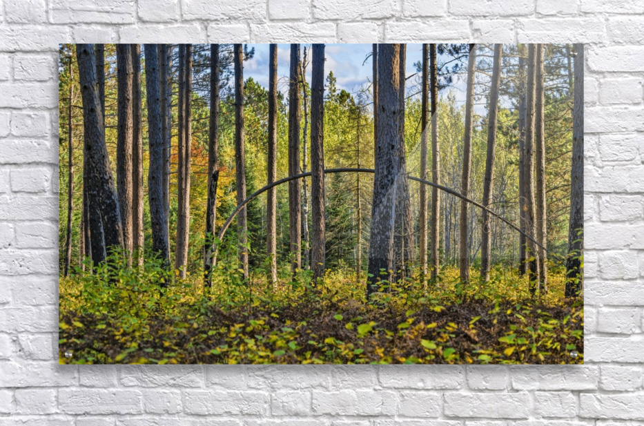 Stand of Trees  Acrylic Print
